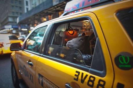 Cyrus Fakroddin ở New York, Mỹ cùng con dê của mình đi taxi. (Nguồn: Reuters)