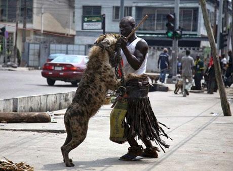 Một người đàn ông chơi đùa cùng con linh cẩu ở Lagos, Nigeria. (Nguồn: Reuters)