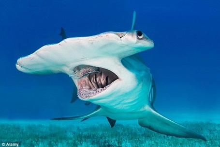 Con cá mập đầu búa tỏ ra vô cùng hung hãn