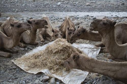 Bầy lạc đà tranh thủ ăn sau những giờ mang vác hàng nặng nhọc