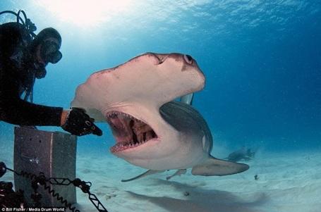 Joe không hề sợ hãi và thậm chí còn vuốt ve con cá mập. (Nguồn: Daily Mail)