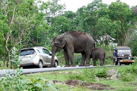 Cặp vợ chồng đã dừng xe giữa đường để chụp ảnh. (Nguồn: Daily Mail)