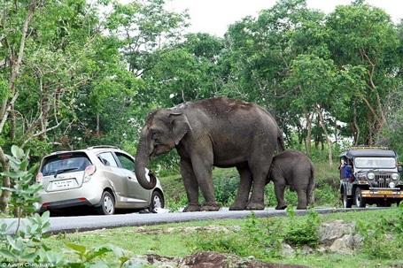 Đúng lúc đó, có hai chú voi đi ngang qua. (Nguồn: Daily Mail)