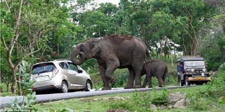 Khi thấy cửa sổ xe không đóng, con voi thò vòi vào trong xe để tìm thức ăn. (Nguồn: Daily Mail)