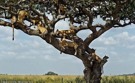 Nhiệt độ tăng cao khiến những con sư tử phải leo lên một cái cây cao 6m để ngủ. (Nguồn: Daily Mail)