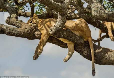 Các chú sư tử nằm dài và tạo ra những tư thế đáng yêu trên cây. (Nguồn: Daily Mail)