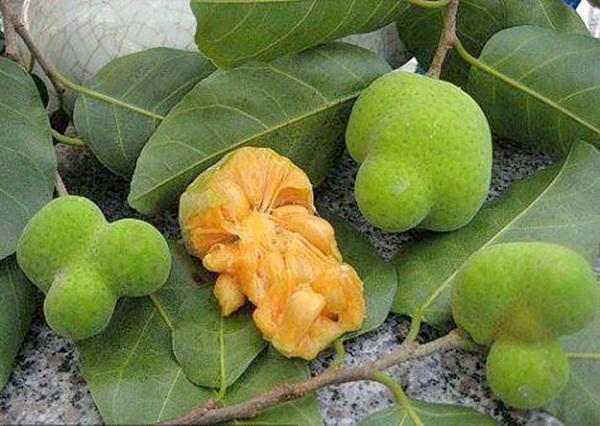 Trái chay miền Trung