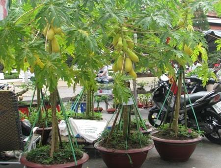 Những chậu đu đủ có trái chín vàng bắt mắt được làm kiểng bán chưng Tết. (Ảnh: Huỳnh Hải)