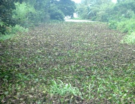 Hình ảnh lục bình chết héo trên một con kênh cạnh bãi rác Tân Tạo. (Ảnh: Huỳnh Hải)