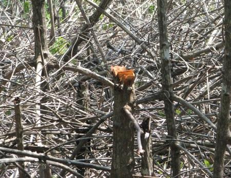 Những chiếc võ lãi như thế này chở cây đước từ rừng phòng hộ ra rất công khai.