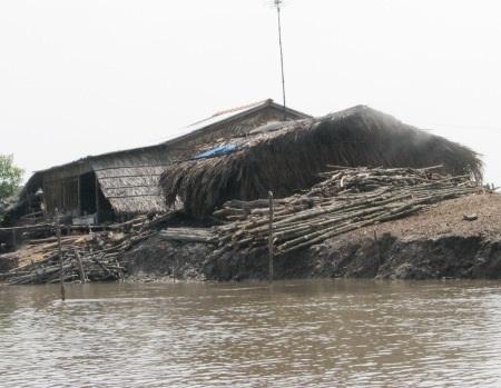 Cây đước được tập kết trên bờ gần khu rừng phòng hộ.