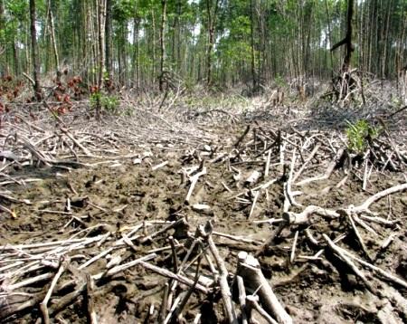 Nhiều diện tích rừng phòng hộ ở Cà Mau bị chặt phá nghiêm trọng.