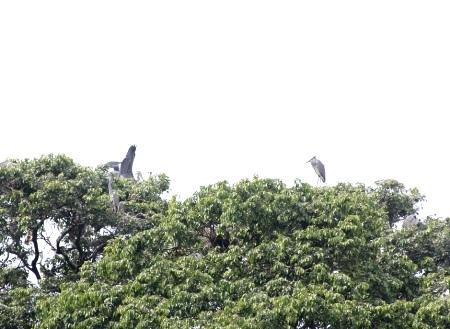 Đàn vạc trú ngụ trên ngọn cây sao.