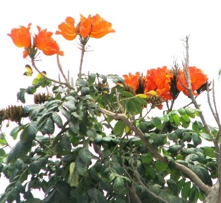 ...và sắc đỏ hoa chuông cùng đón mùa hạ về. (Ảnh: Huỳnh Hải)