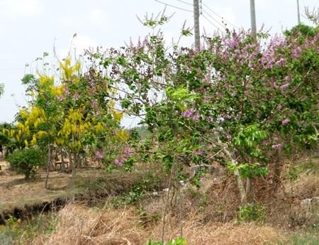 Hoa hoàng hậu vàng và tím bằng lăng cùng đua nhau khoe sắc ở một vùng nông thôn Bạc Liêu.