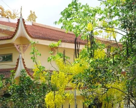 Hoa hoàng hậu vàng rực trước một mái chùa ở Bạc Liêu.