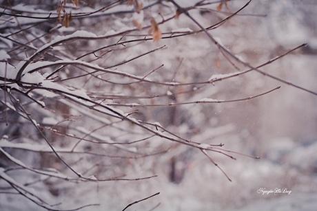 Tuyết rơi dày đặc, phủ đầy trên những chiếc lá cuối cùng còn sót lại của mùa đông