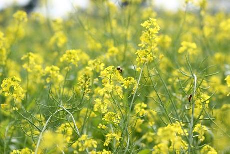 Trong tiết trời đầu đông se lạnh, những bông cải vàng rực, tươi mơn mởn thu hút nhiều ong bướm