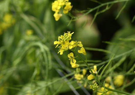 Sắc vàng của hoa trên cánh đồng có sức hút đặc biệt với những bạn trẻ thành thị