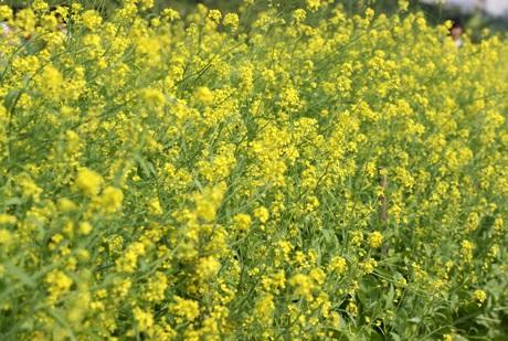 Đồng hoa cải vàng gần ĐH Nông nghiệp trải dài hút mắt