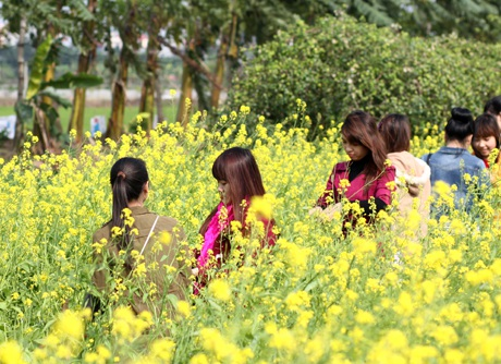 Ngày chủ nhật, cánh đồng hoa cải này đông đúc, nhộn nhịp các bạn trẻ tới ngắm hoa, chụp ảnh