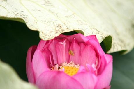 Màu xanh tươi của lá, hòa với sắc hồng dịu nhẹ của sen