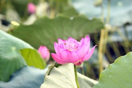 Thiếu nữ Hà thành rạng rỡ ghi lại những khoảnh khắc đẹp cùng đóa sen hồng