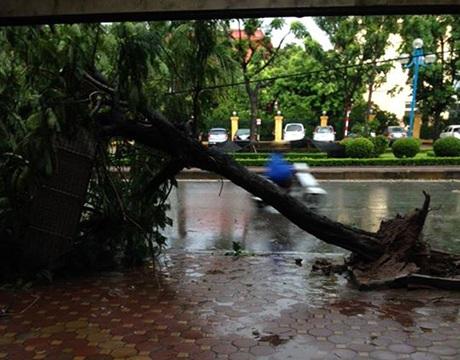 Cây bị bật gốc trên phố Tạ Quốc Việt