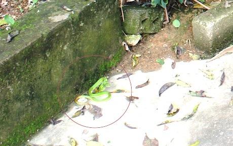 Nhiều tuần qua, rắn lục đuôi đỏ xuất hiện rất nhiều tại Nam Đàn, Nghệ An khiến người dân lo lắng.