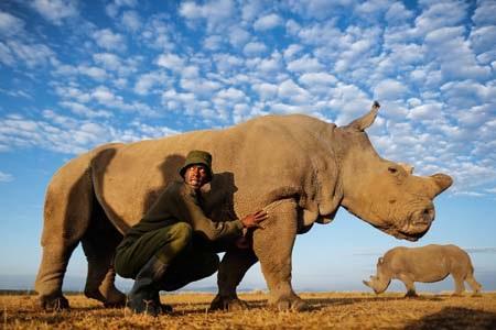 Một trong 5 cá thể tê giác trắng phương bắc còn sót lại trên thế giới (Ảnh: Internet)