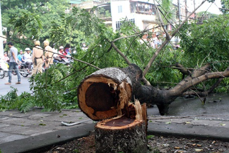 Hàng loạt cây sửa đỏ trên địa bàn Hà Nội bị chặt trộm thời gian qua