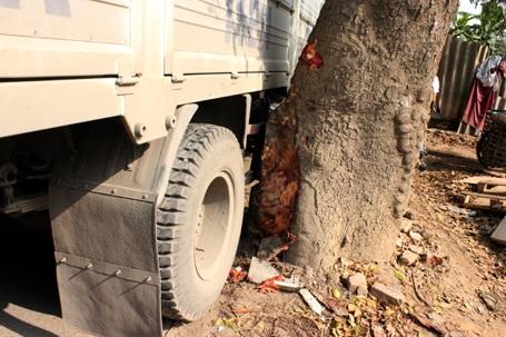 Gốc xà cừ bị tróc vỏ sau cú húc của xe tải