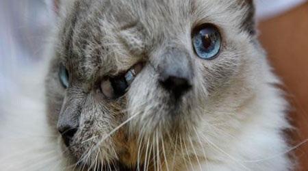 "Mèo 2 mặt Frank-Louie ""ra đi"" ở tuổi 15"