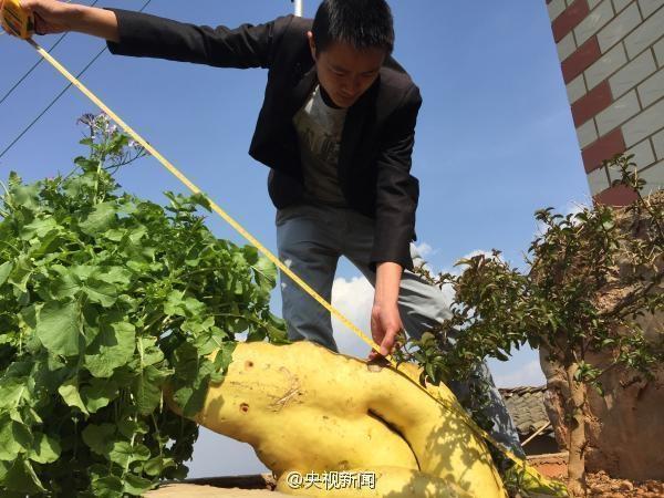 Nhiều người tỏ rõ sự nghi ngờ chủ nhân đã sử dụng chất kích thích thì cây cải mới to lớn như vậy.
