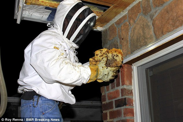 Sửng sốt tìm thấy tổ ong khổng lồ dưới gầm giường