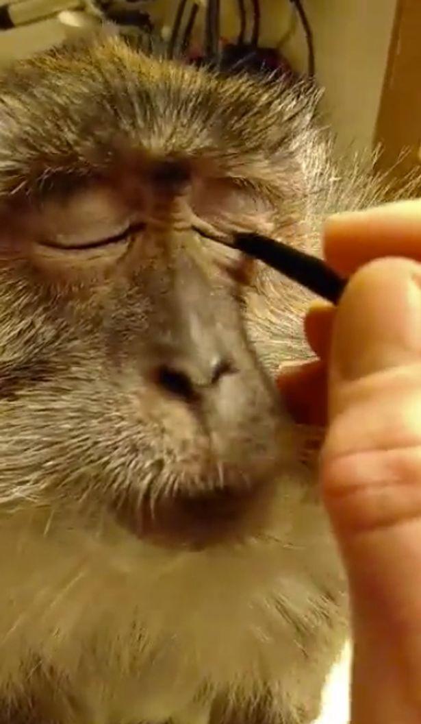Clip khỉ trang điểm gây sốt cư dân mạng