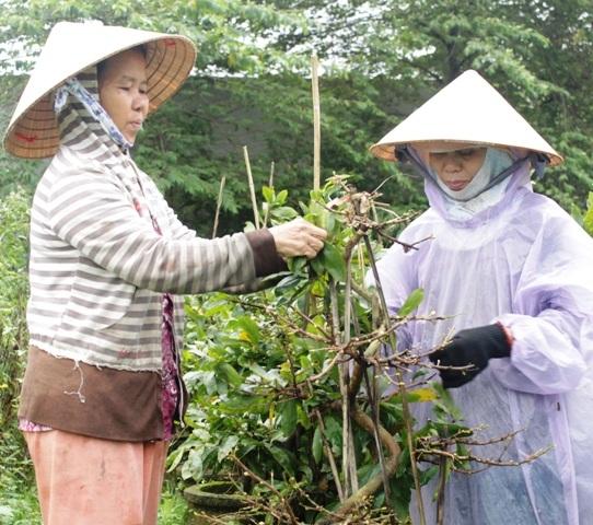 Trong cái mưa phùn se lạnh người dân vui trở lại khẩn trương nhặt lá để mai nở kịp Tết