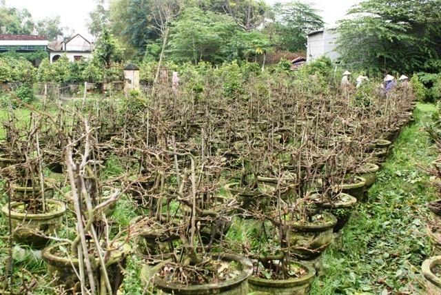 Nhiều vườn mai đã lặt xong lá, nụ chi chít