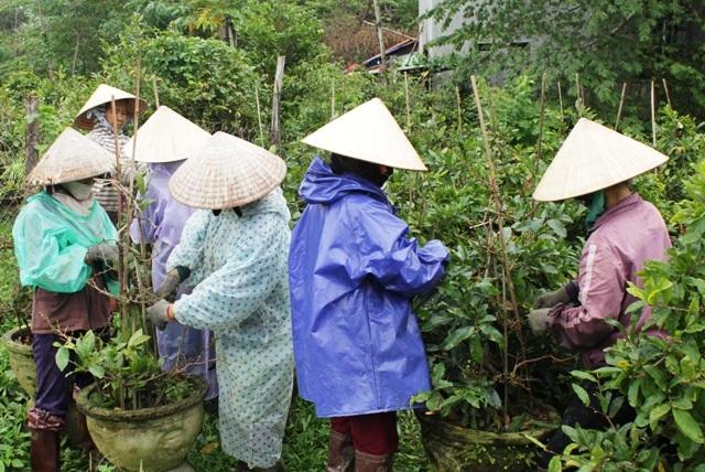 Thời điểm này gia đình ông Lê Văn Phú, phải thuê 7-8 lao động nhặt lá mới kịp
