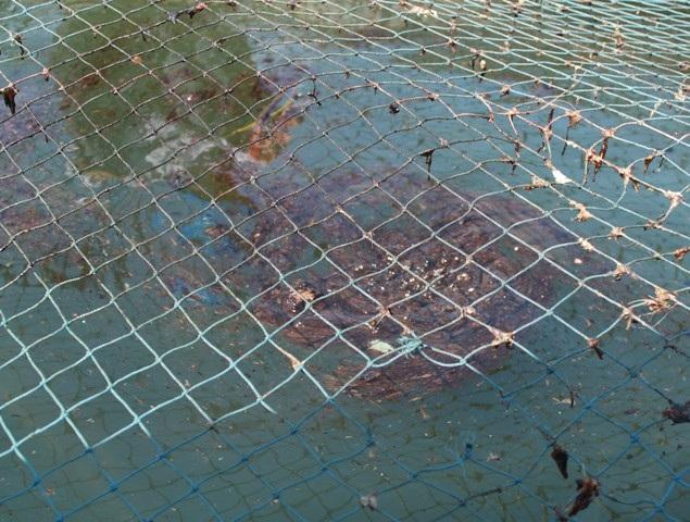 Đến sáng 8/7, dầu vẫn còn bám trong các lồng cá khiến cá không dám nổi lên mặt nước