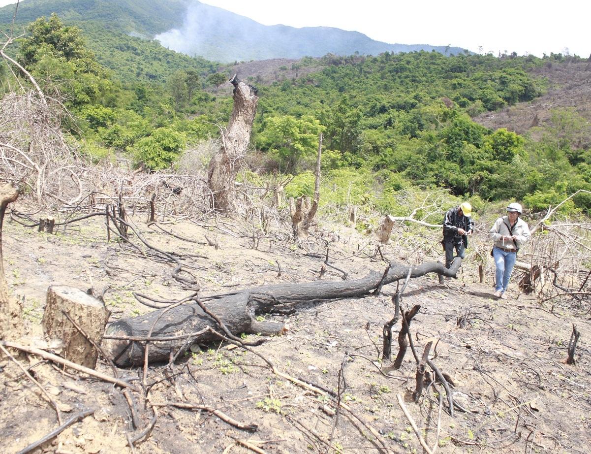 Nhiều cây gỗ lớn bị cưa đổ không thương tiếc