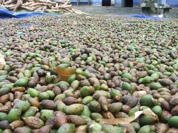 Người dân Phú Yên ồ ạt vào rừng chặt phá cây ươi lấy trái ươi