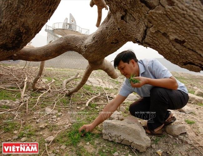 Anh Điêu Chính Hiến thu hoạch cỏ miềng trầu, loại cỏ gắn với cuộc sống của mình những ngày ở cố hương. (Ảnh: Việt Cường/Báo Ảnh Việt Nam)