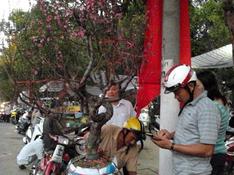 Một chậu hoa đào cao hơn 1m giá 5 triệu đồng