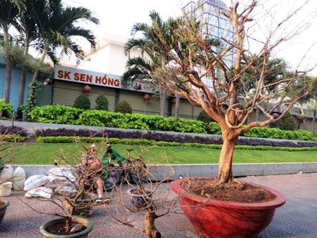 Thời tiết lạnh và vẫn còn 1 tuần nữa mới đến tết Nguyên đán nên những cây mai vẫn còn khép nụ