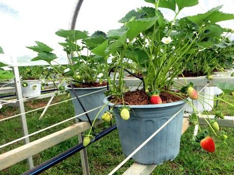 Du khách có thể hái trái dâu chín mọng và thưởng thức ngay tại vườn.