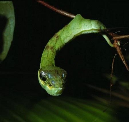 """Hemeroplanes triptolemus """"ngụy trang"""" thành rắn để tự bảo vệ mình"""