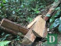 Cận cảnh hiện trường vụ phá rừng nghiêm trọng vừa phát hiện tại Quảng Bình