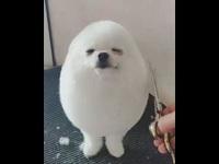 Chú chó Pom Pom trở thành hiện tượng mạng