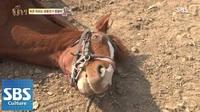 Ngựa lười giả chết trốn việc